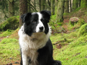 Gwen_the_Border_Collie