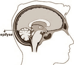 epiphysis