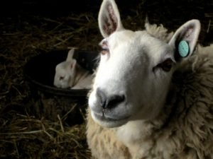 Border-Cheviot-Ewe-With-Her-Resting-Lamb-1024x768