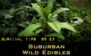 S5-E3-wild-edibles-around-your-house