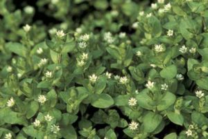 chickweed edible and medical uses