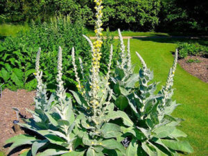 Verbascum_densiflorum_'dense-flowered_mullein'_2007-06-02_(plant)_600