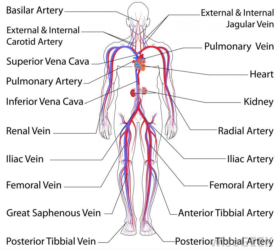 Human Arteries